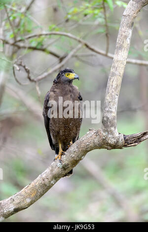 Crested Serpent Eagle resting on a tree - Stock Photo
