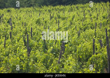 Kroatien, Istrien, Gracisce, Weinberge, - Stock Photo