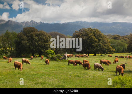 France, Corsica, Corse-du-Sud Department, La Alta Rocca Region, Levie, cattle - Stock Photo