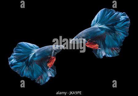 two blue siamese fighting fishs, betta splendens isolated on black background - Stock Photo