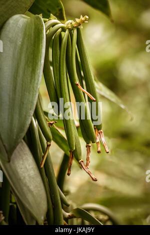 Vanilla planifolia, beans of Bourbon vanilla of Madagascar on the liana. - Stock Photo