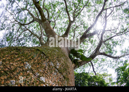 looking up perspective of  a large Guanacaste tree using a wide angle lens capturing the large trunk and multiple - Stock Photo