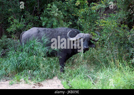 African or Cape Buffalo in dense undergrowth Kruger National Park South Africa - Stock Photo
