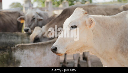 Everyday life in a farm with cows in the countryside. Cattle in stable - Stock Photo