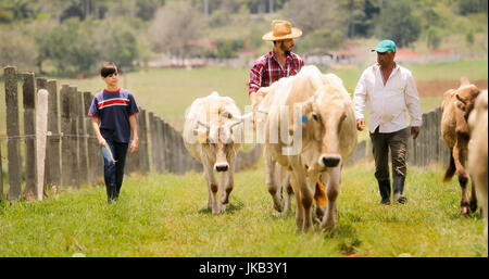 Everyday life for farmer with cows in the countryside. Peasant work in Latin America with livestock in family ranch. - Stock Photo