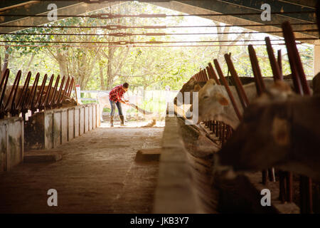 Everyday life for farmer with cows in the countryside. Peasant work in South America with livestock in family country - Stock Photo