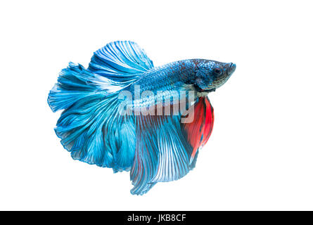siamese fighting fish, betta splendens isolated on white background, it is popular as an aquarium fish - Stock Photo