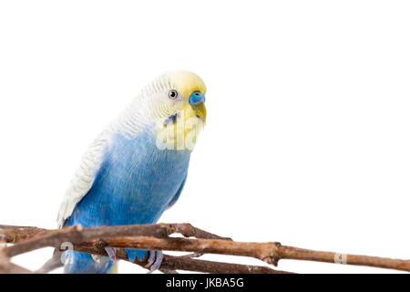 Blue Budgerigar (Melopsittacus undulatus). colorful bird isolated on white background - Stock Photo