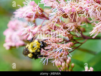 Close-up image of a bee feeding on flowers - Stock Photo