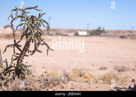 Colorado Buckhorn Cholla Cactus, an invasive plant in the Australian Outback - Stock Photo