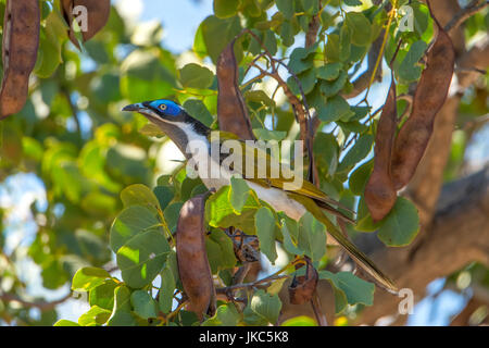 Male Blue-faced Honeyeater, Entomyzon cyanotis at Undara, Queensland, Australia - Stock Photo