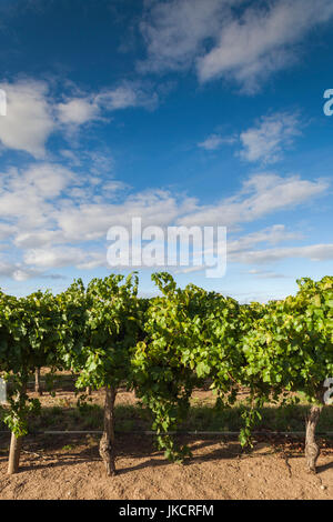 Australia, South Australia, Barossa Valley, Rowland Flat, Jacob's Creek Winery, vineyard - Stock Photo