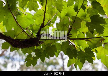 Australia, South Australia, Barossa Valley, Tanunda, vineyard, vines - Stock Photo