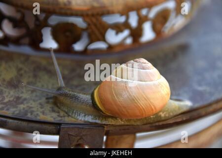 Helix pomatia, Gastropoda, snails - Stock Photo