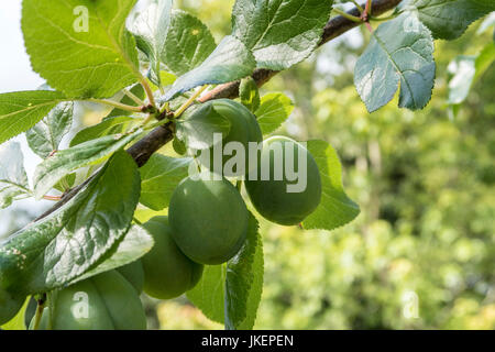 Victoria plums growing on a tree, not yet ripened. - Stock Photo
