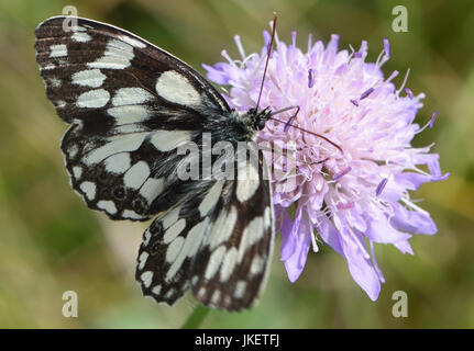 A black and white marbled white butterfly (Melanargia galathea) with open wings takes nectar from a Field Scabious - Stock Photo