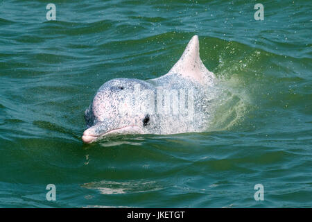 A young Indo-Pacific Humpback Dolphin (Sousa chinensis) approaching the dolphin watching boat - Stock Photo