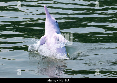 A young playful Indo-Pacific Humpback Dolphin (Sousa chinensis) making a splash in Hong Kong waters - Stock Photo