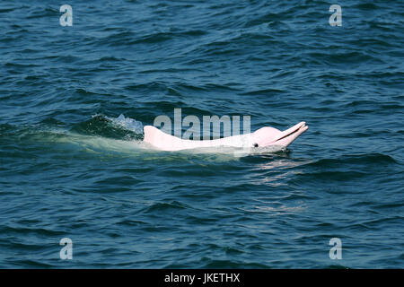 Indo-Pacific Humpback Dolphin (Sousa chinensis) surfacing with a fish in its mouth, showing off his catch - Stock Photo