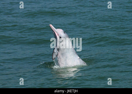 A young Indo-Pacific Humpback Dolphin (Sousa chinensis) spyhopping. This dolphin has a scar on the pectoral fin, - Stock Photo