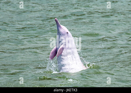 An adult Indo-Pacific Humpback Dolphin (Sousa chinensis) leaping straight out from the water, spyhopping. - Stock Photo