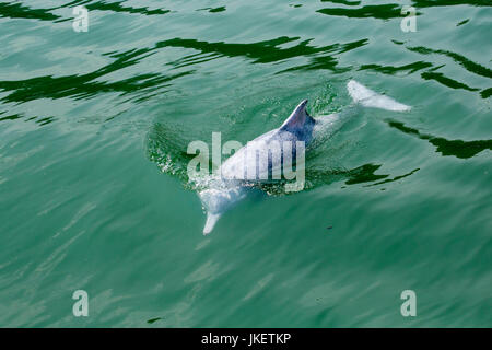 A young Indo-Pacific Humpback Dolphin (Sousa chinensis) surfacing, with beautiful water pattern - Stock Photo