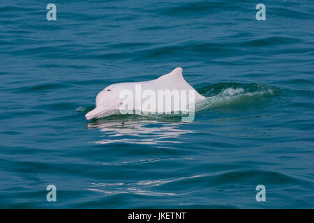 An adult Indo-Pacific Humpback Dolphin (Sousa chinensis) surfacing in Hong Kong waters. This coastal species faces - Stock Photo