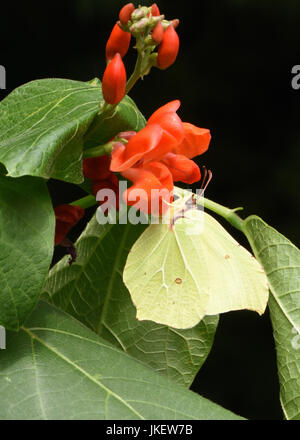 A male Brimstone butterfly (Gonepteryx rhamni) feeding on a red runner bean flower. Bedgebury Forest, Kent, UK. - Stock Photo