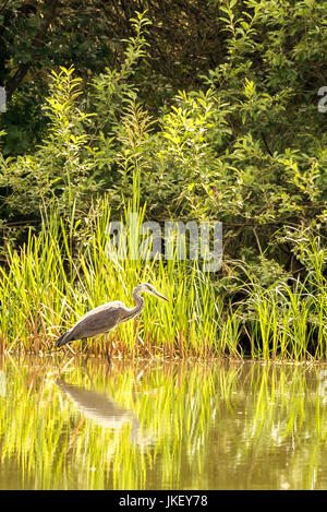 Vertical photo of nice grey heron. Bird walks in shallow of small pond with green bush and reed in background. - Stock Photo