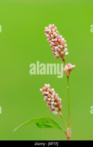 Ladys Thumb, North Rhine-Westphalia, Germany / (Persicaria maculosa, Polygonum persicaria, Persicaria maculata) - Stock Photo