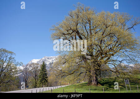 Germany, Bavaria, Ramsau, large leaved linden Hindenburglinde - Stock Photo
