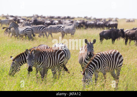 Zebras grazing in Serengeti National Park in Tanzania, East Africa. - Stock Photo
