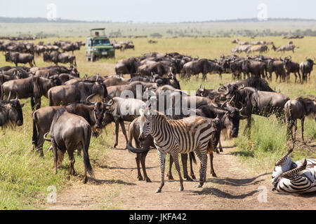 Wildebeests and Zebras grazing in Serengeti National Park in Tanzania, East Africa. - Stock Photo