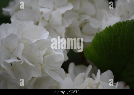 White flowered bush backgrounds stock photo 149455081 alamy white flowered bush backgrounds stock photo mightylinksfo