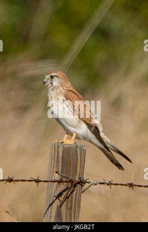 Nankeen Kestrel, Falco cenchroides at Karumba, Queensland, Australia - Stock Photo