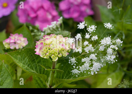 Hydrangea and Ammi majus flowers in the garden. - Stock Photo