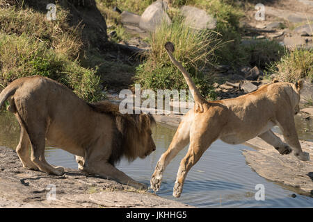 Lion and jumping lioness at waterhole - Stock Photo