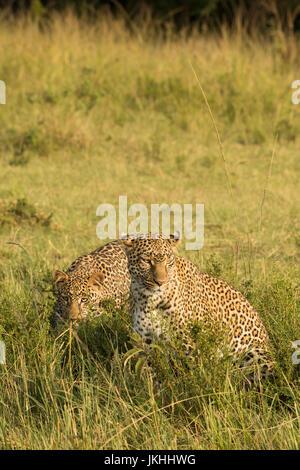 Female Leopard mother and cub walking  in the Masai Mara in Kenya - Stock Photo