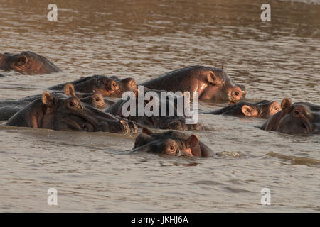 Six Hippopotamus lying together in their pod in water in the Mara river in the Masai Mara preserve  in Kenya - Stock Photo