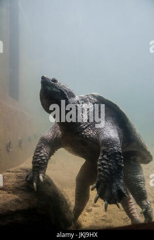 A large alligator snapping turtle (Chelydra serpentina) in captivity resting.. - Stock Photo