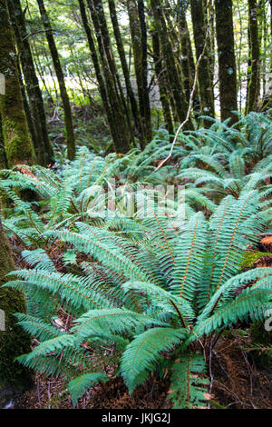 Large New Zealand tree ferns in Fantail Falls, South Island, New Zealand - Stock Photo