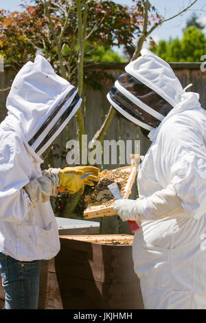 Two Caucasian women small business owner beekeepers checking the health of the honey in a frame in Seattle Washington, - Stock Photo