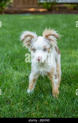 Mini Australian Shepherd puppy 'Flynn' playing in his yard in Issaquah, Washington, USA - Stock Photo