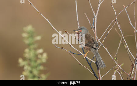 A stunning Dartford Warbler (Sylvia undata) perched in a tree. - Stock Photo