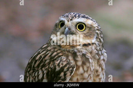New World Burrowing owl (Athene cunicularia) in close-up - Stock Photo