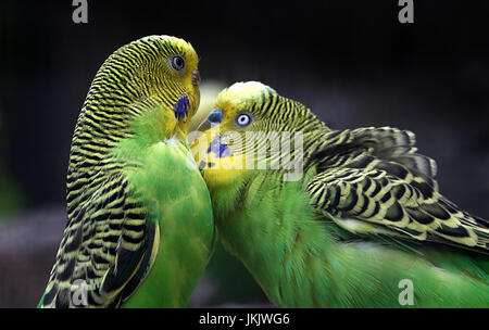 Pair of courting Australian Budgerigar Parakeets (Melopsittacus undulatus) in close-up. - Stock Photo