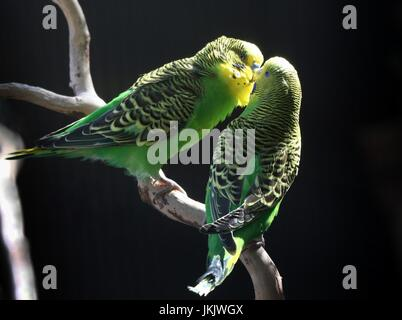 Pair of courting Australian Budgerigar Parakeets (Melopsittacus undulatus) in close-up. - Stock Photo