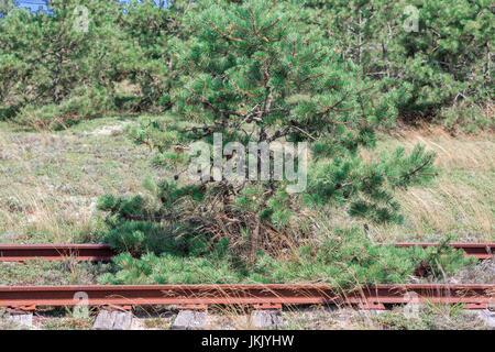 pine tree growing in abandoned rail road tracks in Amagansett, ny - Stock Photo
