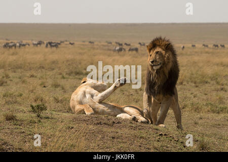 Lioness striking out at male after mating in the Masai Mara in Kenya - Stock Photo