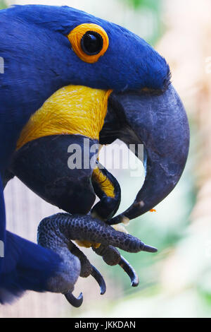 head of a blue hyacinth macaw parrot bird in profile view eating fruits from its claw - Stock Photo